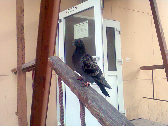ГБ-1 Красноярска - голубь на лестнице