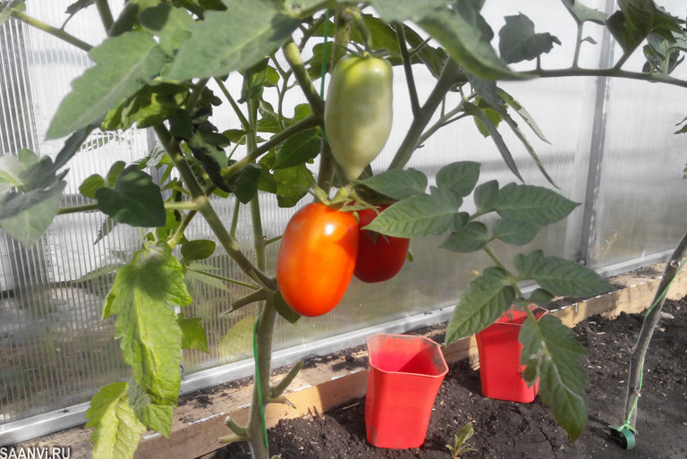 дачные помидоры